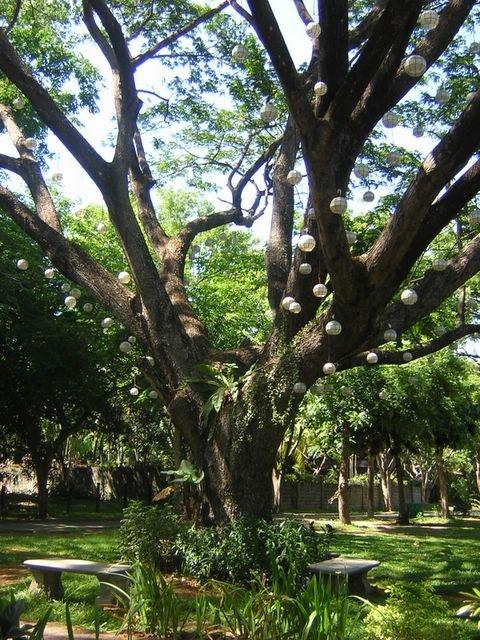 ayala alabang village narra park acacia tree 2007